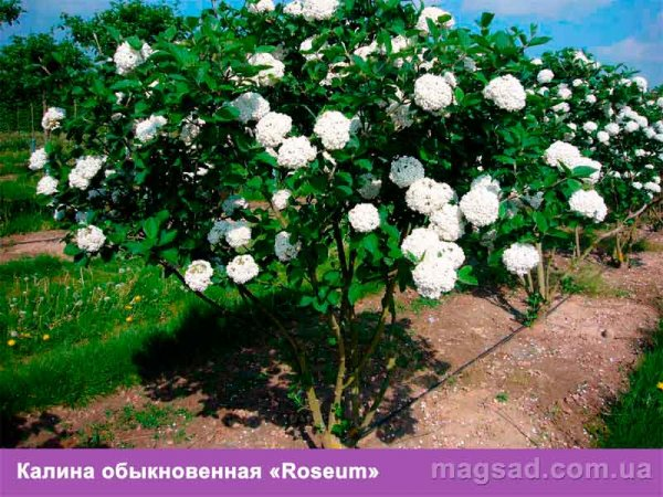 лиственные деревья украины