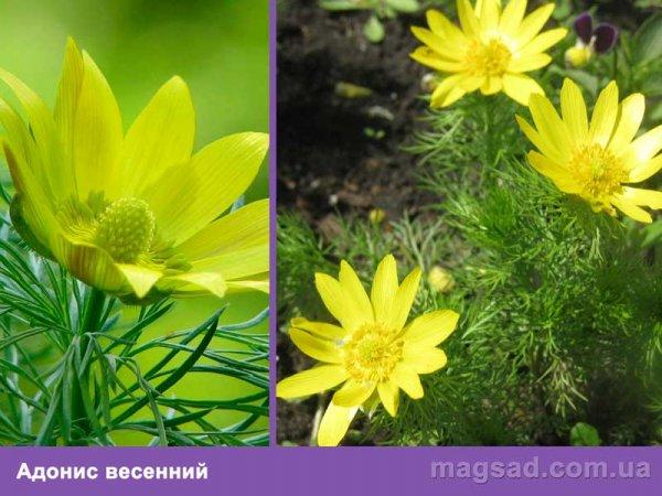 Весенние многолетние цветы каталог с